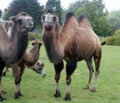 Hope these camals don't have the hump