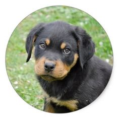 #Doggy McDogface Rottweiler Puppy Classic Round Sticker - #rottweiler #puppy #rottweilers #dog #dogs #pet #pets #cute
