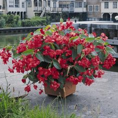 Begonia Dragon Wing plants produce lush vigorous growth and stunning red flowers right up until the first frosts. £5.99 for 5 plug plants