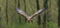 https://flic.kr/p/eBpFSp | Tawny Eagle in Flight_DSC1122 | Tawny Eagle in flight at the World Bird Sanctuary.