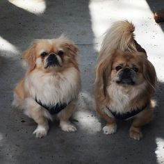 """Two of my baby boys  !!! #rescuepekes#rescuepekesofinstagram#rescuedogsofinstagram#mybabyboys#pekes#pekingese#pekefamily#pekestagram#pekesofinstagram#iphone6plusonly#iphoneography#iphone6sonly by debann1 Follow """"DIY iPhone 6/ 6S Plus Cases/ Covers/ Sleeves"""" board on @cutephonecases http://ift.tt/1kAxdjF to see more ways to how to custom your text add #Photography #Photographer #Photo #Photos #Picture #Pictures #Camera #Only #Pic #Pics to #iPhone6SPlus Case/ Cover/ Sleeve"""