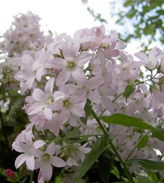 Campanula lactiflora `Loddon Anna` (Klokjesbloem) | VASTE PLANTEN | Tuinplanten stekplek