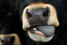 One picture A day : Esko Männikkö One Pic, Cow, Sisters, Prints, Pictures, Photography, Animals, Animal Photography, Pet Dogs