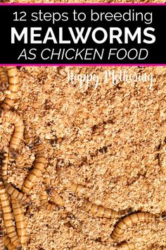 Do you want to learn how to breed mealworms? Learn about breeding mealworms for chicken food. It's a very inexpensive DIY project that chickens love. Meal Worms For Chickens, Meal Worms Raising, Keeping Chickens, Raising Chickens, Treats For Chickens, Plants For Chickens, Pet Chickens, Backyard Chicken Coops, Backyard Farming
