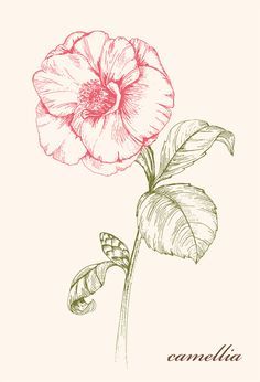 Wild flowers illustration Project  Camellia by JUNG SOO CHAE, via Behance