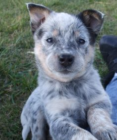 Blue heeler puppy from Cattle Dogs Rule!  the best puppies :)