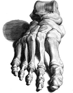 VintageFeedsacks: Free Vintage Clip Art - Anatomical Drawing of the Foot