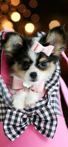 Papillon puppy - sooo friggin adorable! !!