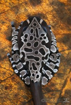 Coronated tree frog (Anotheca spinosa)