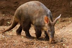 The aardvark is the sole surviing species in its group. Aardvarks are medium-sized mammals with a bulky body and arched back.