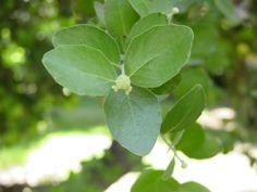 Quillaja saponaria , quillay, arbol endemico de Chile, muy frecuente en Bosque esclerofilo , estimado por su valor apicola y saponinas.mtserra 2008.