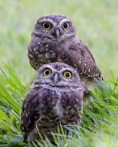Burrowing Owl in all of their cuteness...
