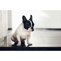 French Bulldog, via Batpig & Me Tumble It