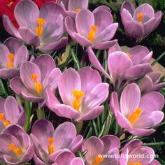 Large Image Ruby Giant Specie Crocus