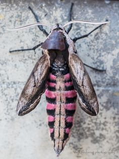 Privet hawk moth | by Hedonist.Photography Hawk Moth, Olympus Digital Camera, Insects, Nature, Photography, Fotografie, Riddler, Photo Shoot, The Great Outdoors