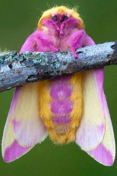 "Psychca Moth (not real name) There is an entire board devoted to cool moths. This was repinned from ""What The?"""