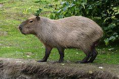 Weird Looking Animals, Pigs Eating, Strange Noises, Baby Guinea Pigs, Wild Dogs, Animals Of The World, Mammals, Capybara, Amphibians