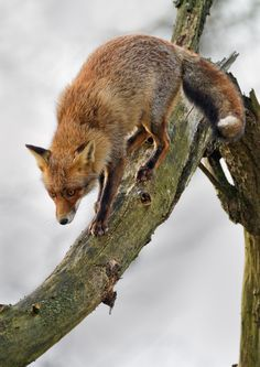 Fox coming down from tree...by Menno Schaefer*