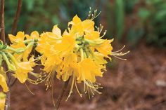 8 Great Plants You Gotta Grow: 'Admiral Semmes' Deciduous Azalea
