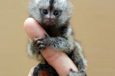 Finger Hug - Pygmy marmosets—aka the world's smallet true monkeys—are found in the Upper Amazon basin. Adults are about five inches in length and weigh only four to seven ounces.