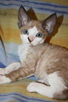devon-rex-josie12.jpg - #smallcat- See more stunning Devon Rex Cat Breeds at Catsincare.com!
