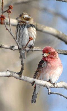 Purple Finches ~ An example of pink and gray in nature.
