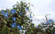 Heavenly Blue #gardening #garden #gardens #DIY #landscaping #home #horticulture #flowers #gardenchat #roses #nature