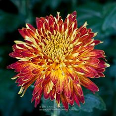 Decorative Chrysanthemums are another popular category of Exhibition mums identified by the National Chrysanthemum Society. The Decorative Mums have blossoms that appear almost flattened on top. Mums The Word, Chrysanthemums, Shades Of Red, Cut Flowers, Bouquets, Beautiful Flowers, Trees, Gardens, Sleeve