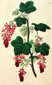 Ribes sanguineum - Google Search