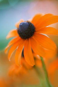 Rudbeckia 'Orange Crush' - common name 'Black Eyed Susan' Plants, Yellow Flowers, Planting Flowers, Nature, Orange Flowers, Love Flowers, Amazing Flowers, Black Eyed Susan, Dream Garden