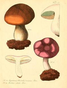 Agaricus and Boletus. Fungi austriaci delectu singulari iconibus XL observationibusque  Wien :C. Gerold,1830.  Biodiversitylibrary. Biodivlibrary. BHL. Biodiversity Heritage Library