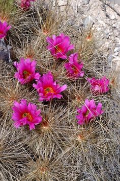 Echinocereus stramineus, Mexico, Coahuila, Cuatrocienegas  More Pictures at: http://www.echinocereus.de