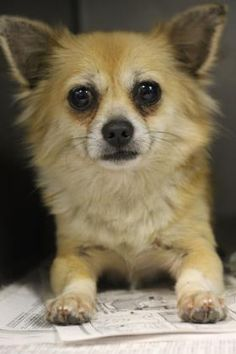 Meet Charlie, a Petfinder adoptable Chihuahua Dog | Longview, TX | Petfinder.com is the world's largest database of adoptable pets and pet care information....