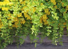 Creeping Jenny Creeping Jenny is a delightful and hardy ground cover that grows equally well in sun and shade. It will rapidly spread to fill empty areas with a lush carpet of bright green or yellow. Do nothing but enjoy it. It will return year after year in USDA zones 2–10.