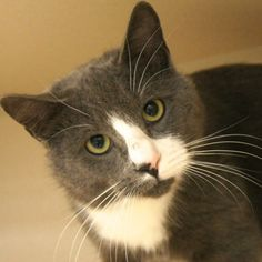 Adopted- Rocky is a 3 yr old, Male, Gray and white domestic shorthair. This poor guy really felt knocked around after he got abandoned. But now that handsome Rocky has started to feel more secure at the shelter, he has brushed himself off and is ready to get back on his feet.  He seems to be a playful boy and after a few more rounds...of love and attention, we think he is going to really break out of his shell. www.poainc.org #gray #adoption