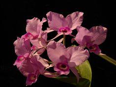 Costa Rica Orchids, Orchideen, Orquídeas