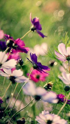 Some Beautiful Galsang Flower iPhone 6 wallpaper
