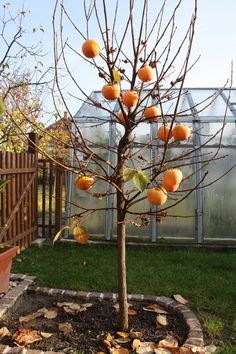 Hurmikaki: Dopestujte si bohatú úrodu - Pluska.sk Origami, Gardening, Garten, Paper Folding, Lawn And Garden, Horticulture