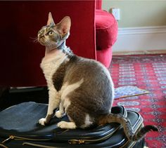 Devon Rex    Short hair, long ears and big eyes, this breed is known for their almost-not-there curly whiskers.