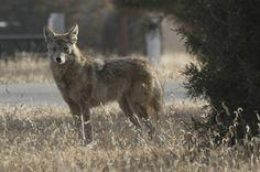 Coyote | by Paul.J.Hurtado
