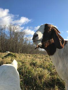 Вопрос встал ребром, когда я задумалась над тем, что стоит выращивать или разводить на земле. Было несколько вариантов и первым желанием было пройти по проторенному пути и начать с чего-то совсем простого в содержании. Обработка земли и выращивание какой-то сель� Cute Goats, Animals, Animales, Animaux, Animal, Animais