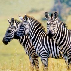 The plains zebra is found across east and southern Africa savannahs but continued population decline and threatens its survival. Learn what AWF is doing to protect this iconic species plus interesting zebra facts. Plains Zebra, Fascinating Facts, Wildlife Conservation, African Animals, Endangered Species, Grasses, Zebras, Fun Facts, Survival