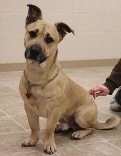 Corgi x Great Dane mix - How is that even possible?