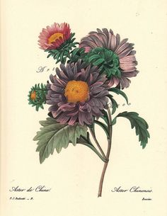 This is an illustration by Pierre Redoute, the official court artist for Queen Marie Antoinette. Critics called him the 'Raphael of Flowers', and the 'Rembrandt of Roses.' Here you have Aster de Chine, Aster Chinensis, or Chinese Aster. Vintage Flower Prints, Vintage Botanical Prints, Botanical Drawings, Vintage Flowers, Floral Prints, Art Prints, Vintage Pink, Illustration Botanique, Illustration Blume