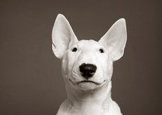 Bull Terrier Puppy! by Piotr Organa