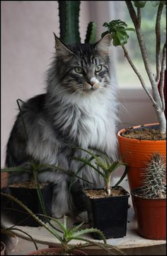 Billy - Maine Coon