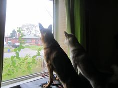 My German Shepherd and Alaskan Malamute waiting for their Dad to come home. Alaskan Malamute, Waiting, German, Dads, Puppies, Animals, Deutsch, German Language, Animaux