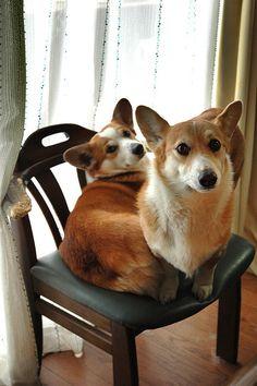One Corgi per Chair, Please - Wel & Kogi, two Pembroke Welsh Corgis | Flickr - Photo Sharing! by luckyno3 #corgi