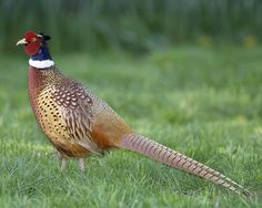 Ring-necked Pheasant | Audubon Field Guide