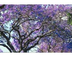 Magical Meanings of the Jacaranda Tree   eHow.com Deciduous Trees, Trees And Shrubs, Flowering Trees, Lavender Flowers, Spring Flowers, Trees With Purple Flowers, Periwinkle Flowers, Spring Tree, Lavander